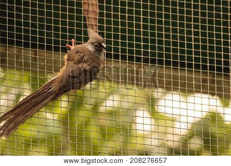 Speckled mousebird called Colius striatus is found in Ghana Ethiopia and Tanzania.