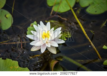 Picture of the Nymphaea alba White Waterlily. Muskoka. Canada.