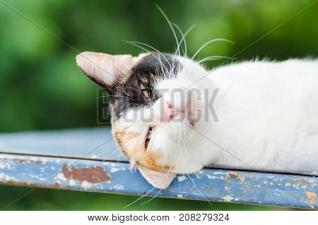 Tricolor cat lay down and sleeping, cute animal and pet