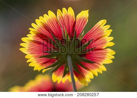 Underside of beautiful back-lit flower in full blooming back-lit by sun.