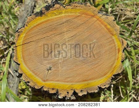 A close up of the cut of an cork tree (Phellodendron amurense).