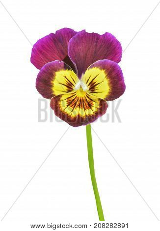 A close up of the small varigated flower violet. Isolated on white.