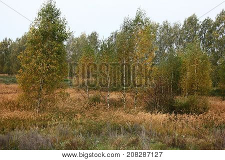 Grey autumn morning. Among a dry grass in different places there are young birches. Everywhere paints of autumn.