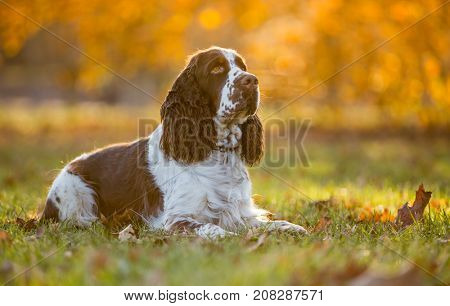 Sitting English cocker spaniel. Autumn background.