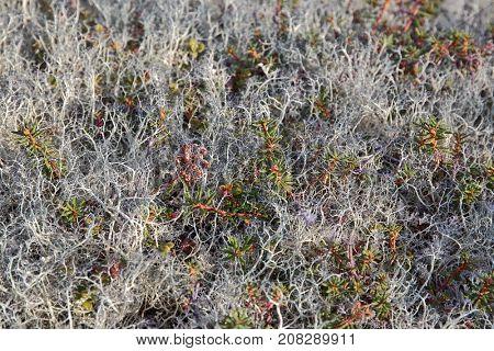Tundra lichens