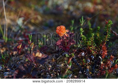 Cloudberry in tundra