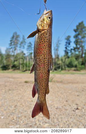 Fresh catch: lenok (Brachymystax)