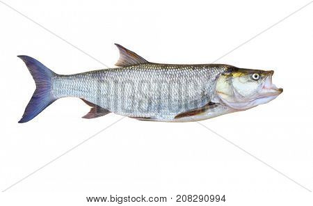 The Asp fish - Aspius . Animal isolated on white background.