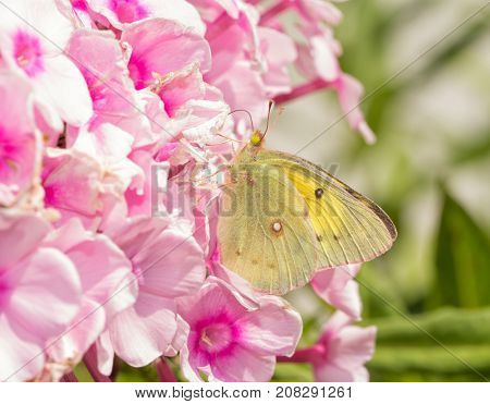 Beautiful yellow Clouded Sulphur butterfly feeding on pink Phlox flowers
