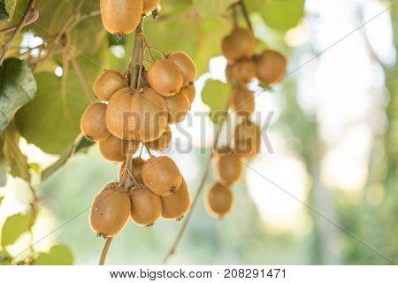 Kiwi fruit plantation