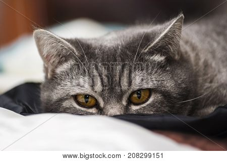Mature scottish straight breed cat lying in bed on a plaid. Close-up view on amber color eyes.