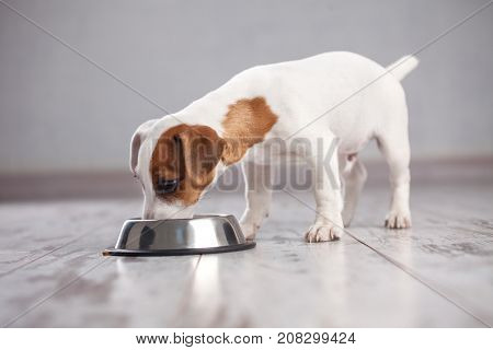 Dog at home. Puppy eating food. Pet