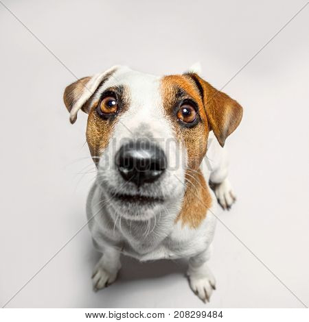 Little dog at studio looking up. Portrait pet. Puppy jack russel terrier