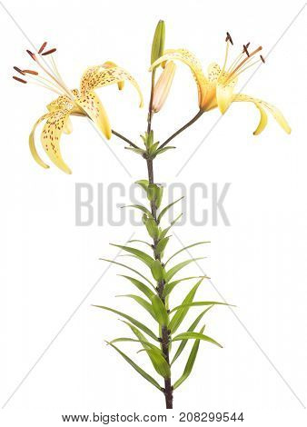 yellow lily flower isolated on white background