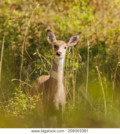 White-tail doe (odocoilus virginianus) peeking through the foliage to see what is watching her