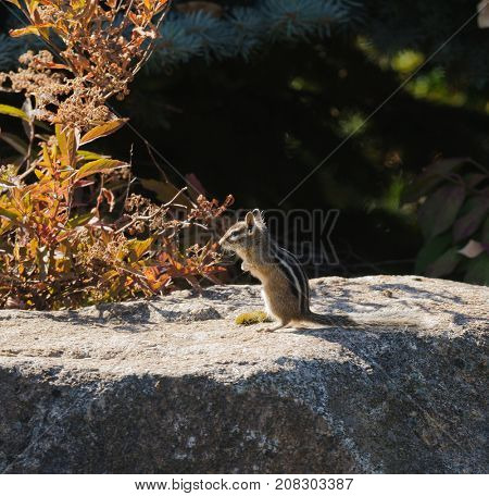 An alert Western Least Chipmunk