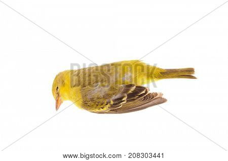 A dead female breeding American goldfinch, a casualty of flying into glass windows, isolated on white