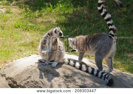 Madagascaran  Ring-tailed Lemur (Lemur catta) feeding