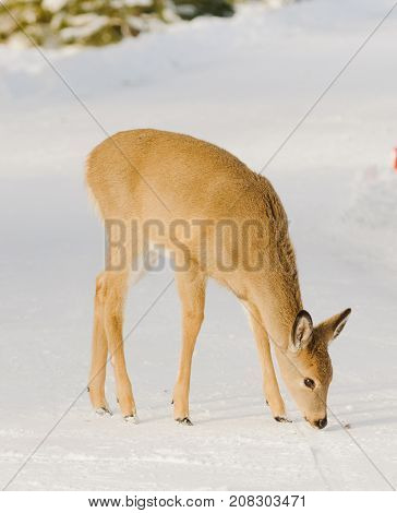 Whitetail fawn in the winter eating ice