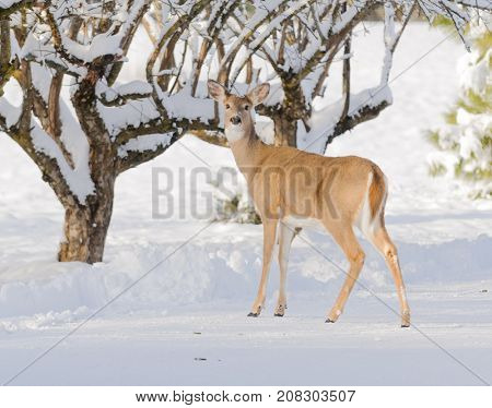 Whitetail doe foraging for food in the winter