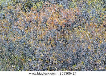 tapestry of shrubs and bushes in fall colors in Colorado's Rocky Mountains