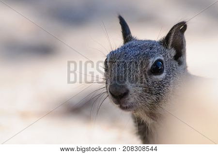 Close-up of a White-tailed antilope Squirrel in Joshua Tree National Park