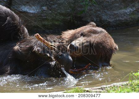 Beautiful view of a brown Kodiak bear bathing in the wild