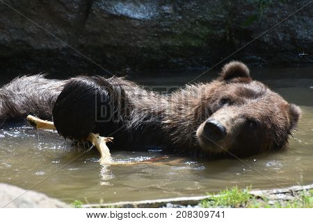 Front view of a wild brown grizzly bathing in the wild
