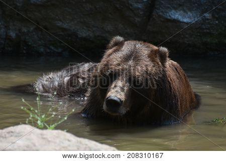 Wild brown Peninsular bear bathing in water