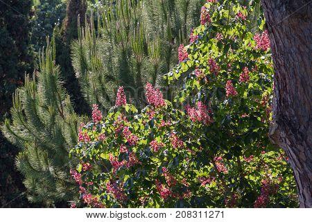 Red horse-chestnut tree in park. Briotii aesculus