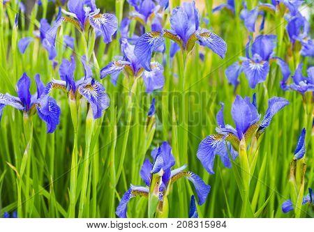Irises. Close-up of iris flower. Iris flower