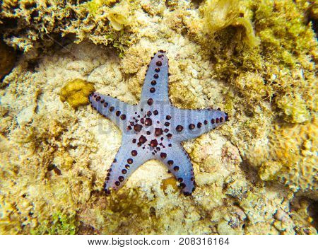 Sea star on bottom. Underwater photo. Tropical seashore. Coral reef and blue starfish. Starfish on sea shore. Snorkeling or diving undersea banner template. Seaside fauna. Marine aquarium background