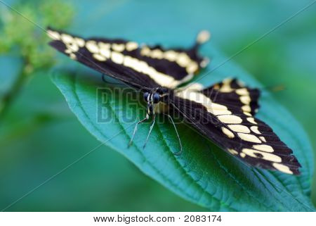 Swallow tail Butterfly on a green leaf poster