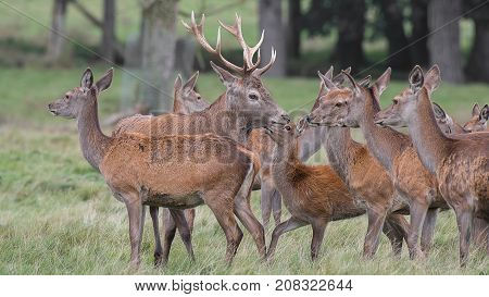 A young red deer stag is surrounded by his does and fawns during the rutting season