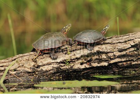 Pair of Painted Turtles on a Log