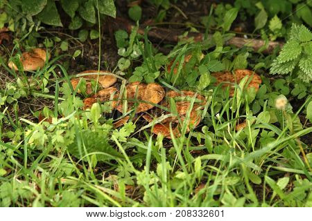 Crop of mushrooms in the grass in autumn