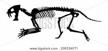 Saber - toothed tiger ( Hoplophoneus primaevus ) skeleton . Silhouette vector . side view .