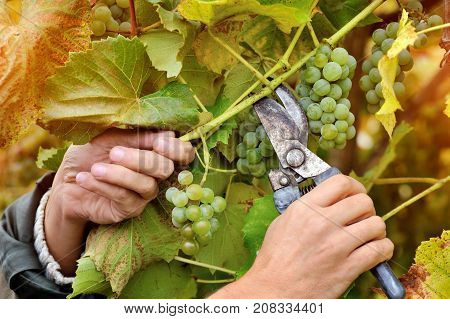 Farmers Hands Holding And Cutting White Grape From The Vines During Wine Harvest