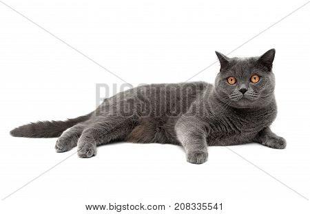 cat breeds Scottish Straight lies on a white background. horizontal photo.