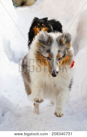 Dogs of the Shelty breed run through the snow in a hollow in winter in a snowdrift. Color white with gray and black with red both dogs with red tassels on collars. A beautiful picture with dogs with long hair.