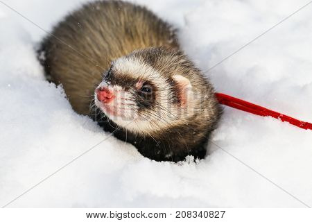 A ferret in the snow a portrait. Close-up.