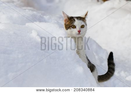 A cat is purebred in the snow in snowdrifts.