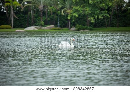 It is swan swimming in the river.
