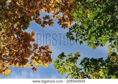 Autumnal leaves and sky. Multi color autumn leaves of maple against blue sky.
