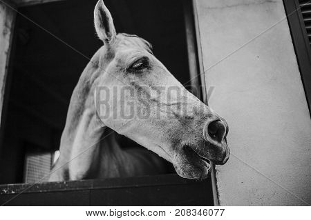 Black and white portrait of white horse showing the head through stable door
