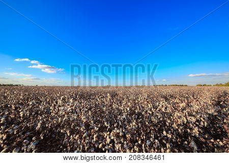 Wide Field Of Ripe Cotton