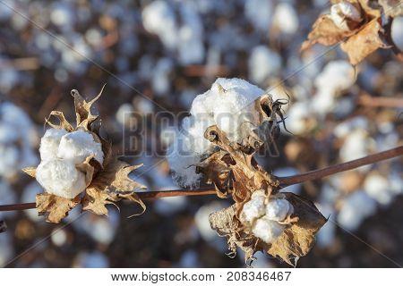Close-up Of Ripe Cotton Boll