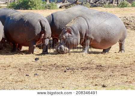 A Hippo is standing near a herd