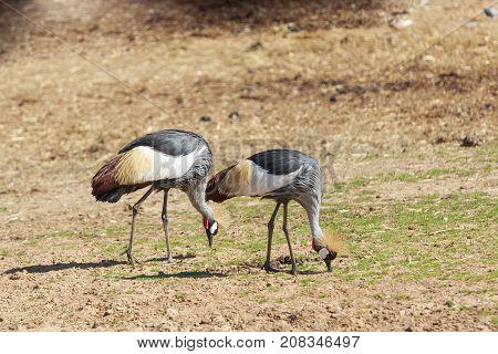 Pair Of Big Crowned Cranes