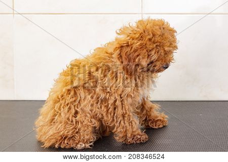 Shaggy toy poodle is waiting for a shearing